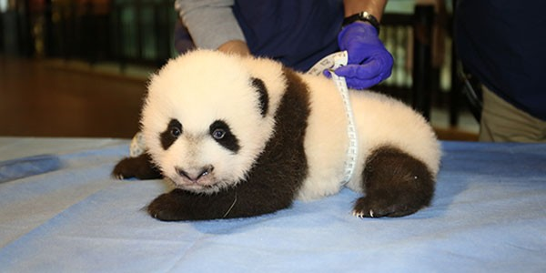 Bei Bei on a table