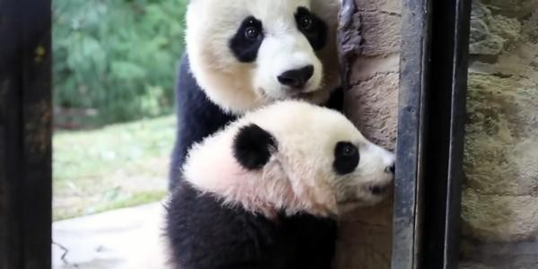 Mei and Bei Bei at the entrance to their enclosure
