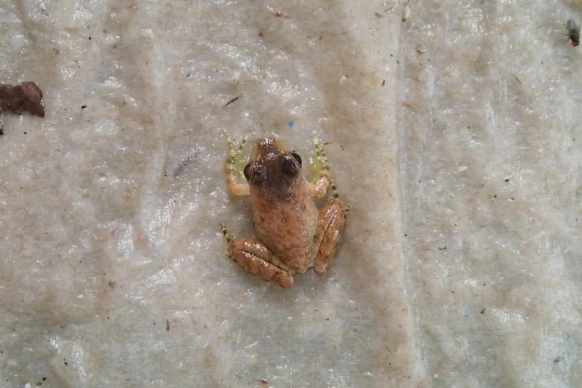 Robber Frog
