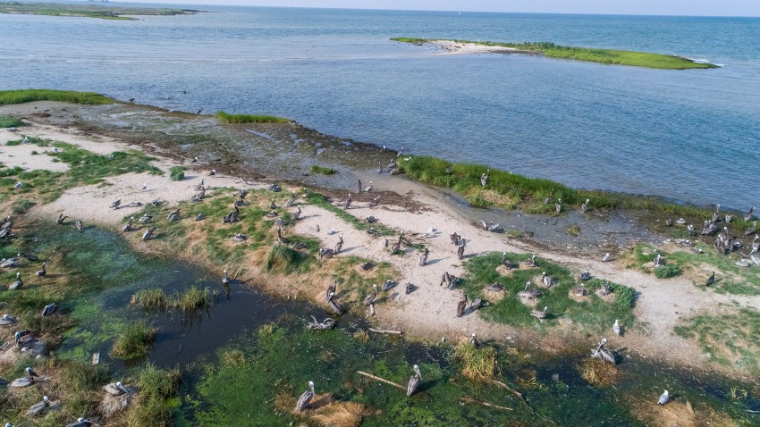 A brown pelican nesting colony on Adam Island, Dorchester County, Maryland.