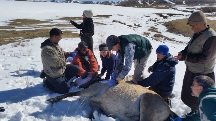 SCBI Scientists Collar a Przewalski's Horse