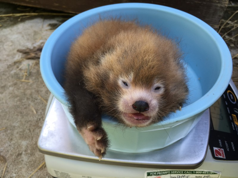 A red panda cub gets weighed in a blue bucket