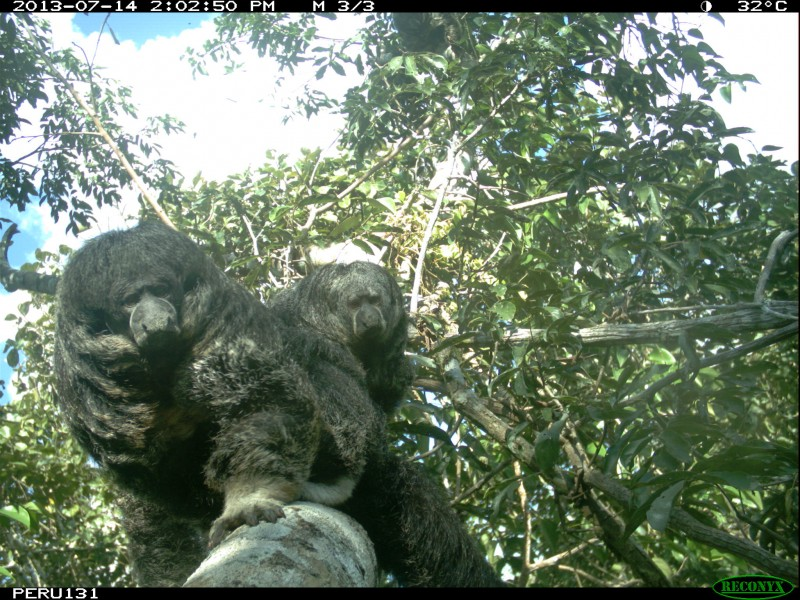 A camera trap photo of two furry animals in a tree