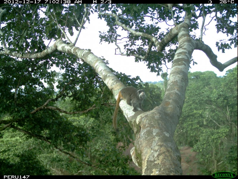 A camera trap photo of a monkey in a tree