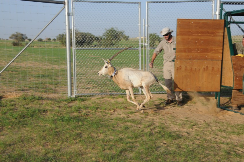collared oryx being released from shed