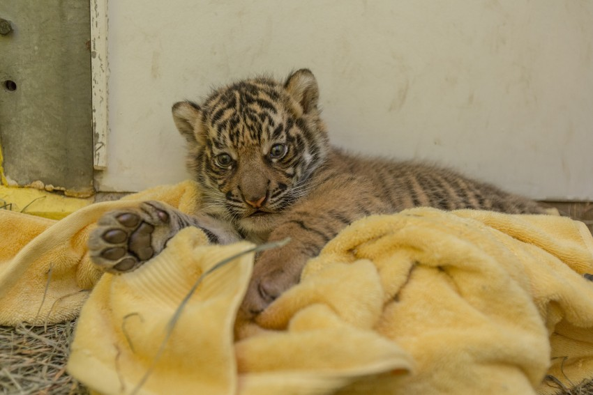 The Smithsonian's National Zoo's male Sumatran tiger cub was born July 11 to mother Damai and father Sparky.