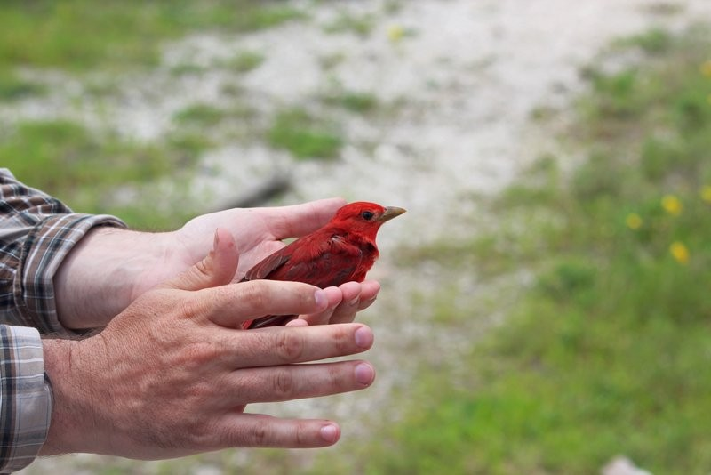 A red summer tanager being held in someone's hands