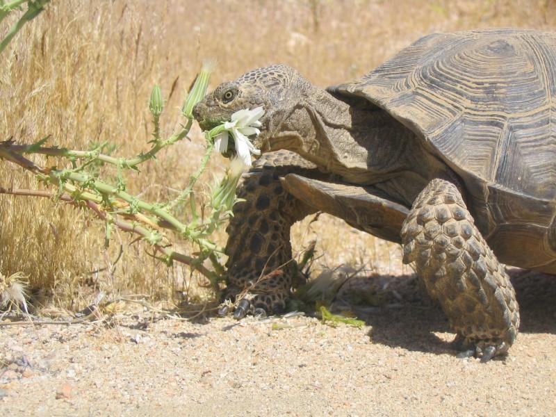 Desert tortoise eating a flowering plant