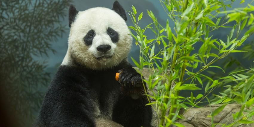 Giant panda Mei Xiang eating