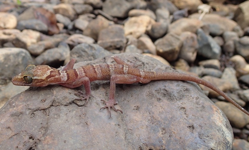 Lenya banded bent-toed gecko on a rock