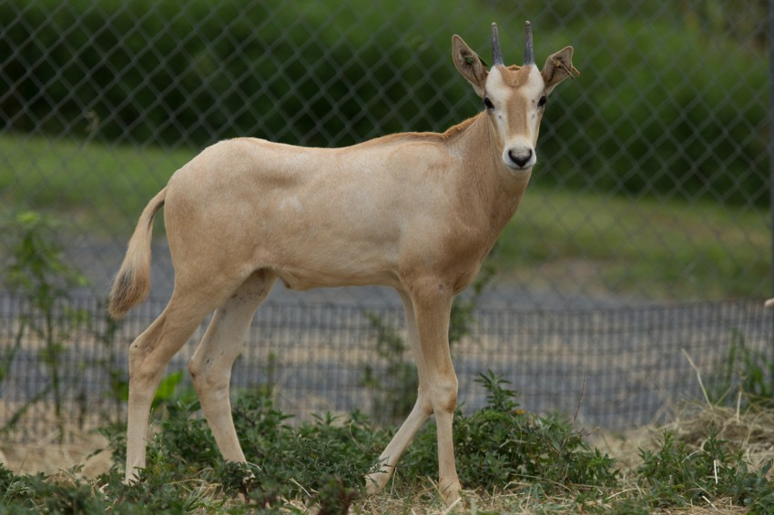 Male scimitar-horned oryx calf