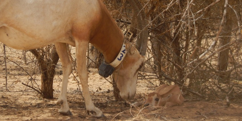 Adult scimitar-horned oryx and calf in the wild in Chad