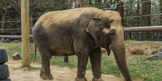 Elderly Asian Elephant Ambika Dies at Smithsonian's National Zoo