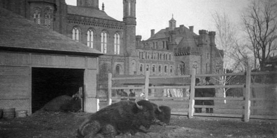 bison in front of Smithsonian castle