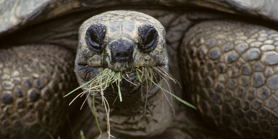 aldabra tortoise munching on grass