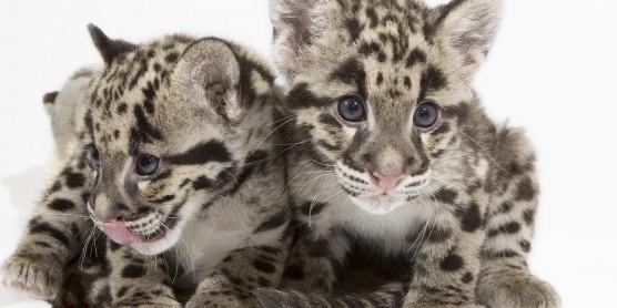 clouded leopard cubs