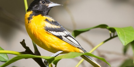 a Baltimore oriole sits on a branch