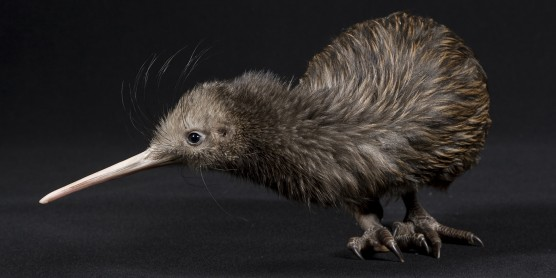 North Island Brown Kiwi on a table