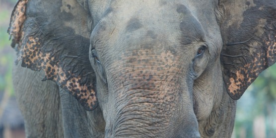 A close-up photo of an Asian elephant in Myanmar