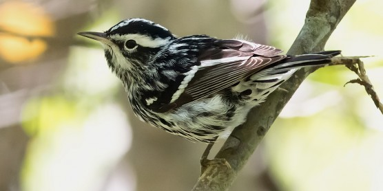 A black-and-white warbler perched on a tree branch