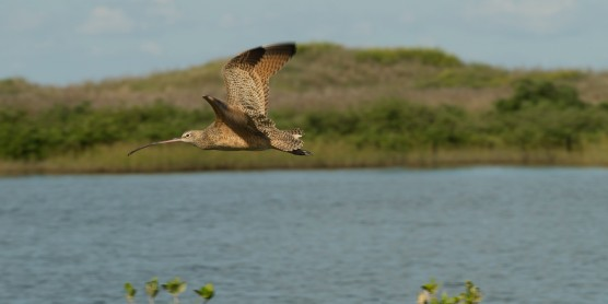 A long-billed curlew flying over a body of water with green hills in the background