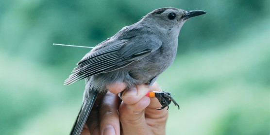 A gray catbird in a researchers hand. It has colored bands around its ankles.
