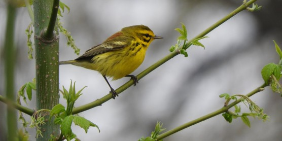 A small, yellow bird with some black and orange feathers, called a prairie warbler, perched on a green branch