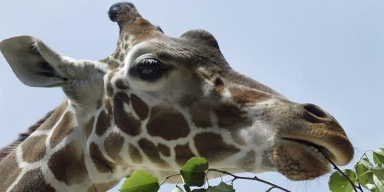 A giraffe eating leaves