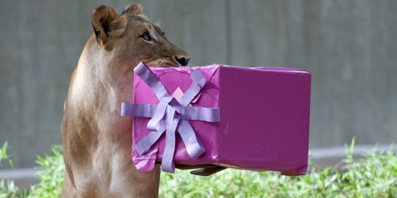 Lion holding birthday present