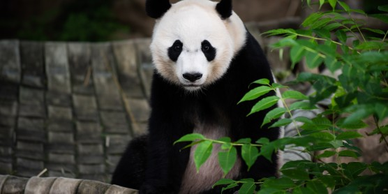 Giant Panda Bei Bei Moving to China Before the End of the Year