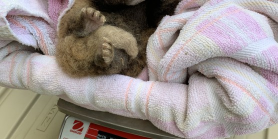 Endangered Red Panda Cub Born at the Smithsonian Conservation Biology