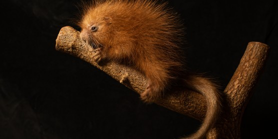 Prehensile-Tailed Porcupine Born at the Smithsonian's National Zoo