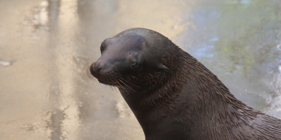 Sea Lion Dies at Smithsonian's National Zoo