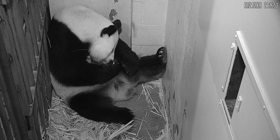 Giant Panda Cub Born at Smithsonian's National Zoo