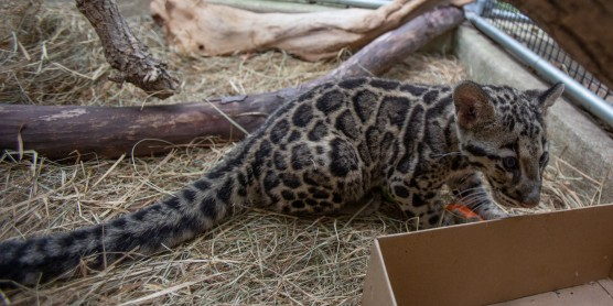 First Ever Clouded Leopard Cubs Debut at the Smithsonian's National