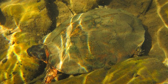 Smithsonian Scientists Use eDNA for the First Time To Find Wood Turtles in Virginia