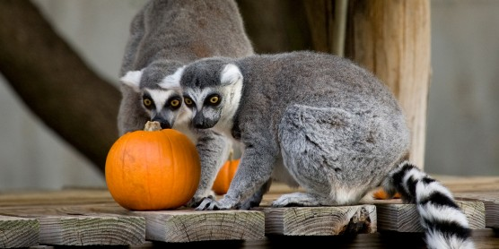 Ring-tailed lemurs with a pumpkin