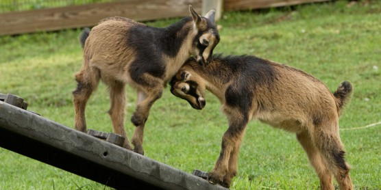 two goats playing