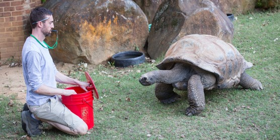 A keeper kneeling in the grass with a red bucket in front of a tortoise. There are large rocks in the background.