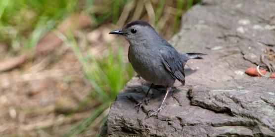 A small gray bird, called a gray catbird, standing on a rock