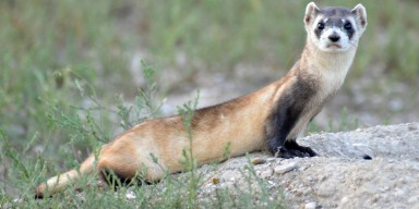 a black-footed ferret on a rocky and grassy area