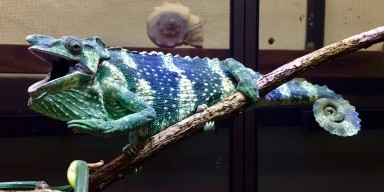 A Meller's chameleon perched on a branch
