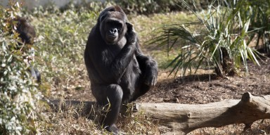 Western lowland gorilla Calaya sitting outside on a warm day in January