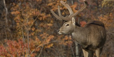 An eld's deer with horns stands against a backdrop of trees with orange leaves