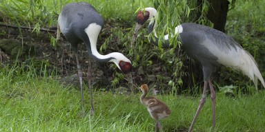 Two adult white naped cranes and chicks