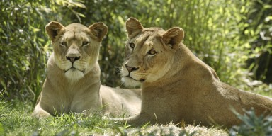 Two African lions in the grass