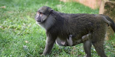 Mother monkey with baby hanging on its belly