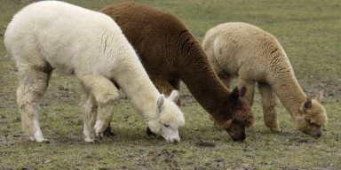 A white alpaca, brown alpaca and beige alpaca grazing in the grass.