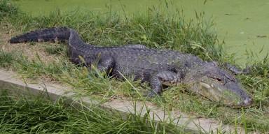 American Alligator in the grass