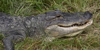 Closeup of an alligator's head. The skin is scaly and blackish while the throat is white. Several peg-like teeth are visible.